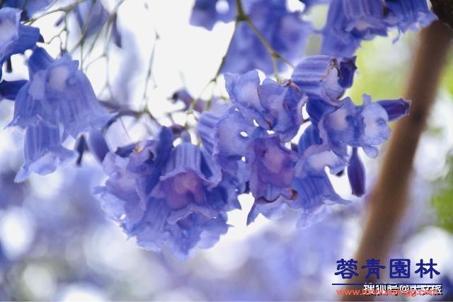 成都蓝花楹的播种繁殖育苗技术